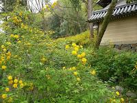 黄金色に染める山吹の群生約3000株が植えられている