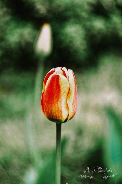 Flower, macro, Helios, Lens , Nikon d5000