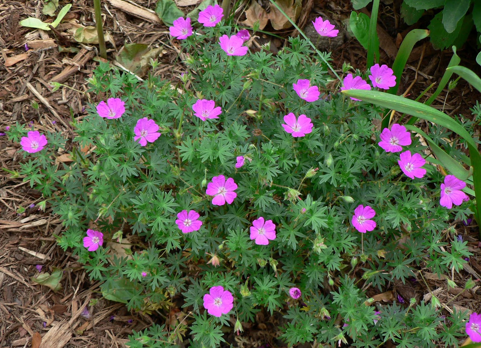Visit My Garden: Hardy Geraniums (Cranesbill)