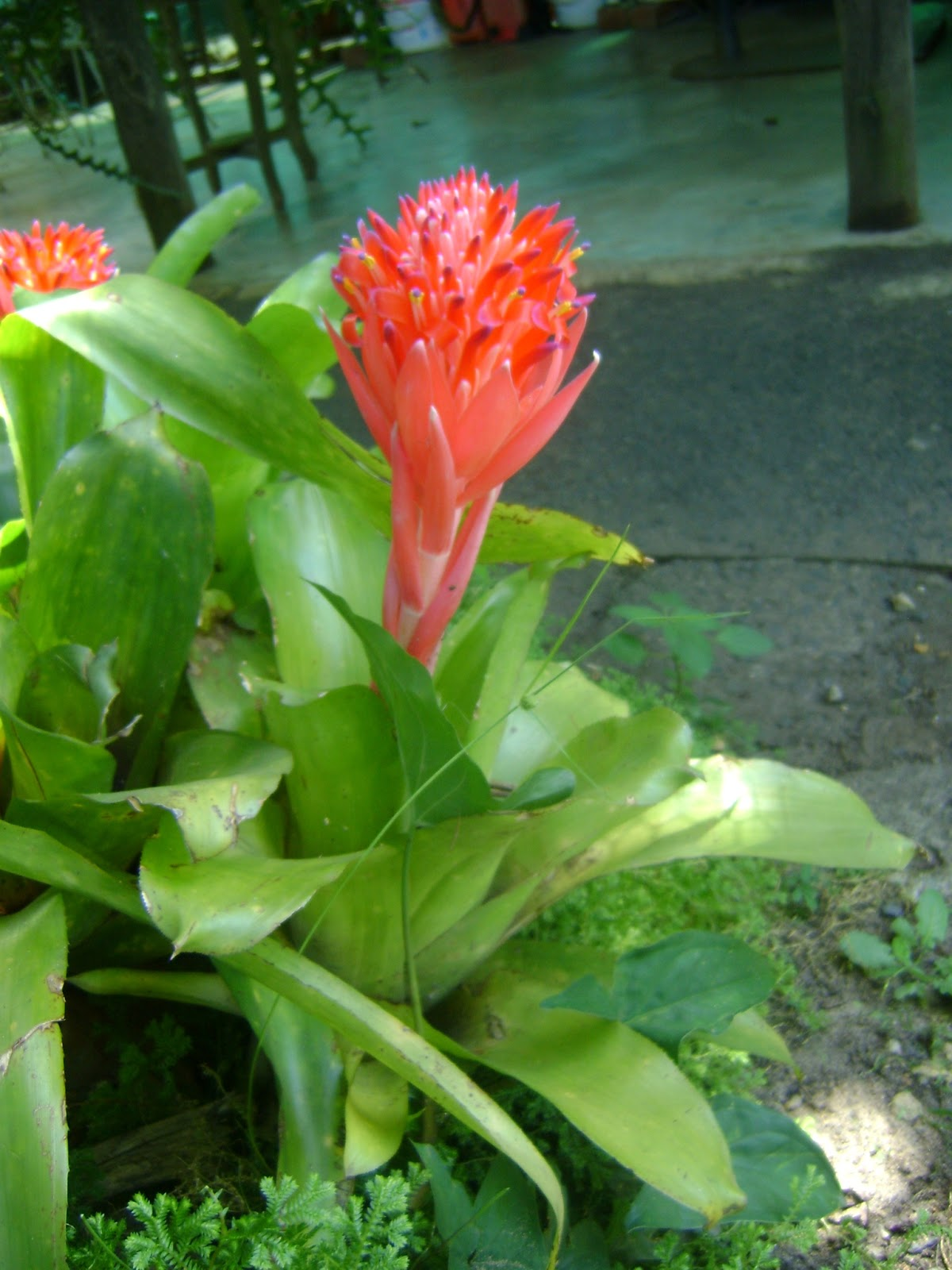 Most Bromeliads Are Epiphytes The Orchid Angel