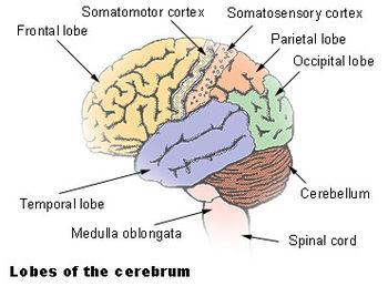 Brain Function4