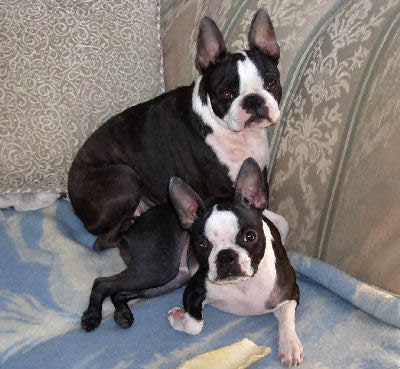 boston terrier boston terrier will know more dished head with erect ...