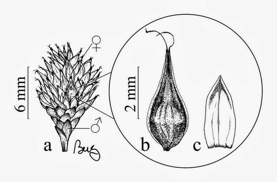 Dessin de Carex echinodes