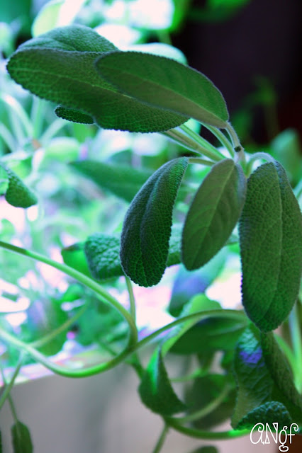 Fresh sage leaves from Anyonita-nibbles.co.uk