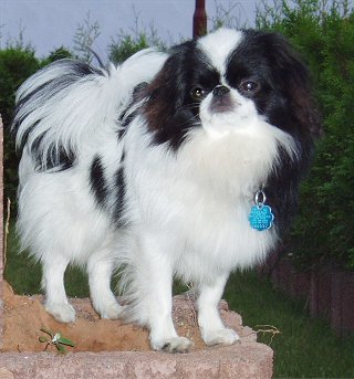 Japanese Chin Pictures