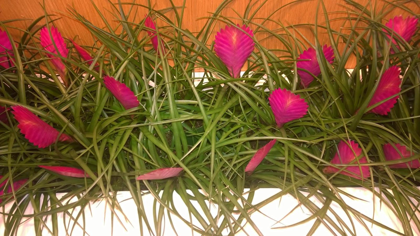 Tillandsia cyanea - Pink Quill Bromeliad