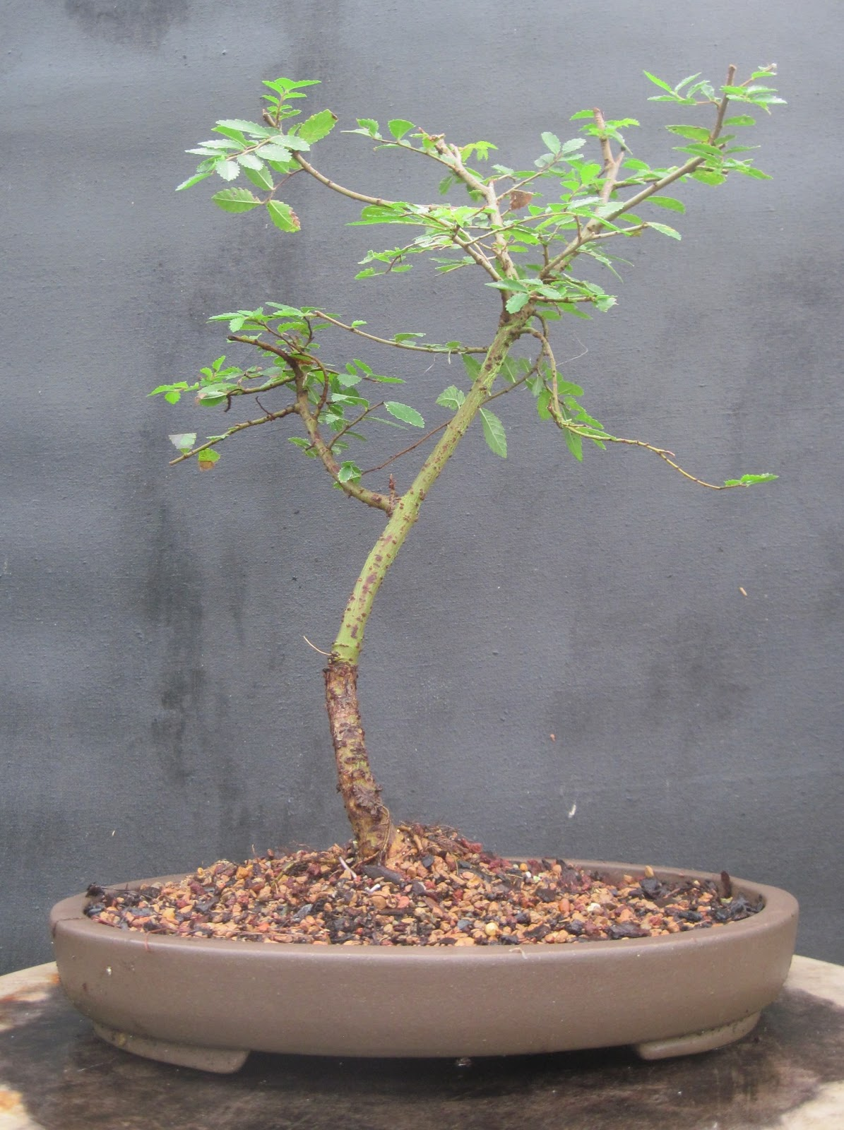 Bonsai Beginnings Chinese Elm Tough Durable Forgiving