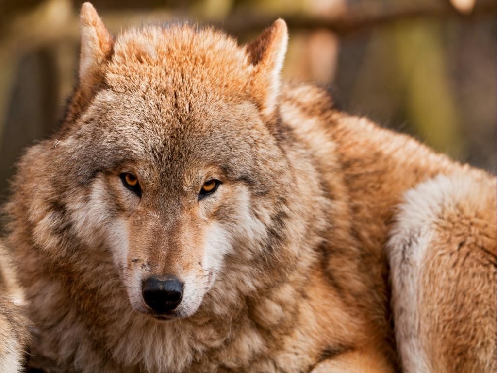 Resultado de imagen para lobo miradas