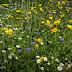 Wild flower mixture