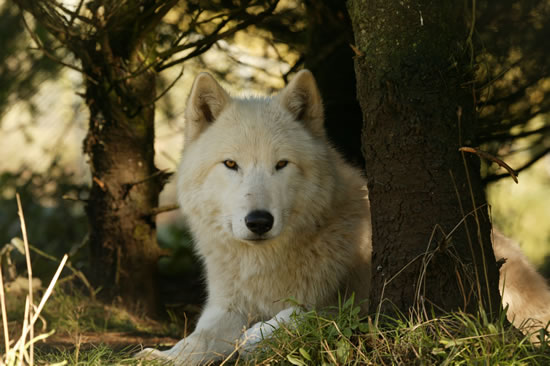 all funny cute cool and amazing animals cute white wolf images and