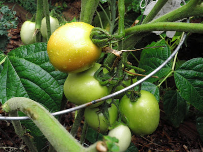 A Rio Grande tomato turning green to red
