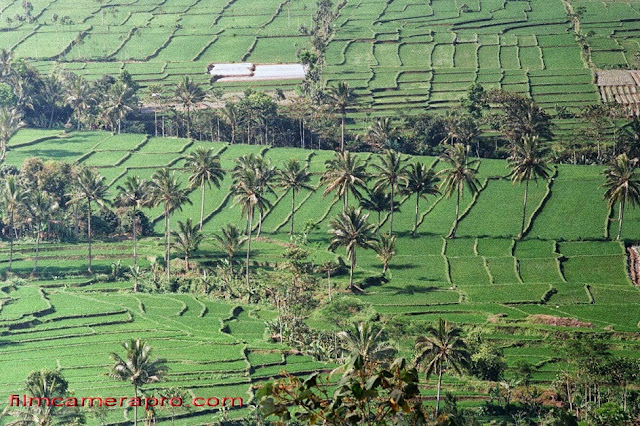 java rice fields