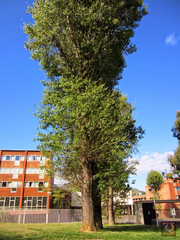 Chopo en el Parque de Sarriko en Bilbao (Bizkaia)