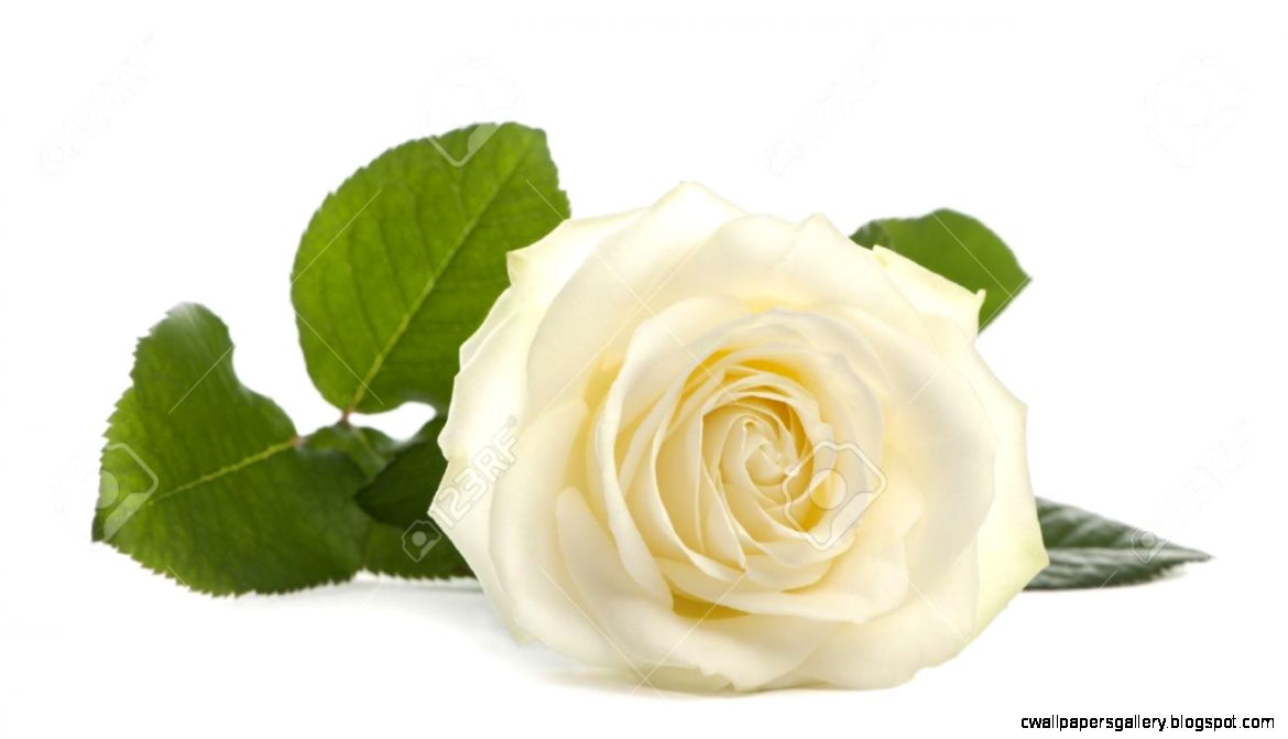 A Single White Rose Lying Down On A White Background Family