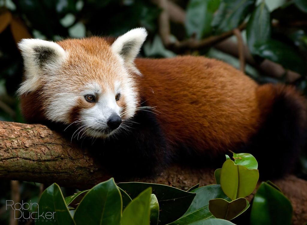 The Red Panda | Animals Library