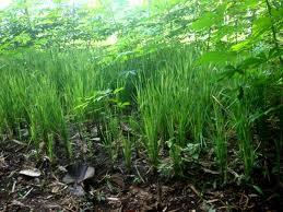 budidaya, padi, gogo, cara menanam