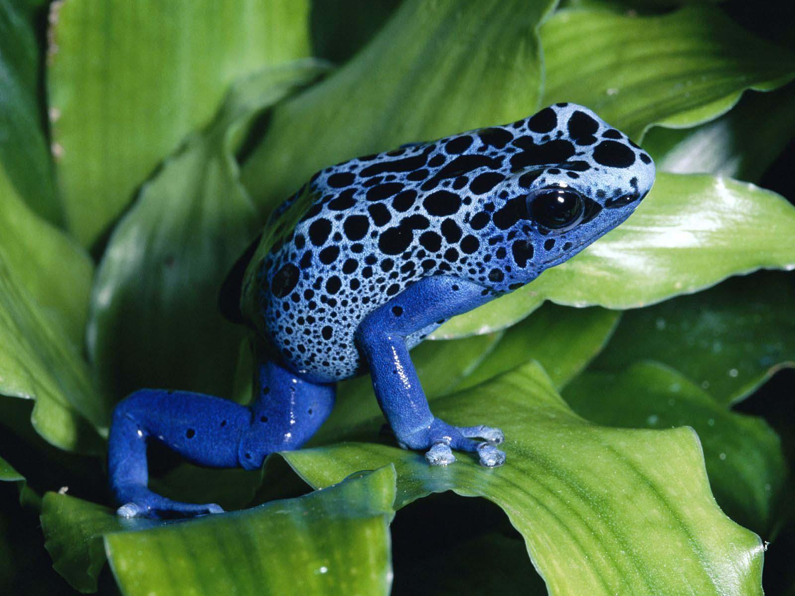 http://3.bp.blogspot.com/-KFEZ28HQDiM/TpfNnJ5EFyI/AAAAAAAAAQo/VXUjOxzJ1tw/s1600/Frogs-funny-and-colorful-HD-Wallpapers-4.jpg