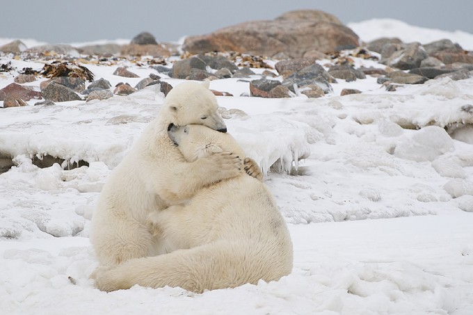 hugging+polar+bears.jpg