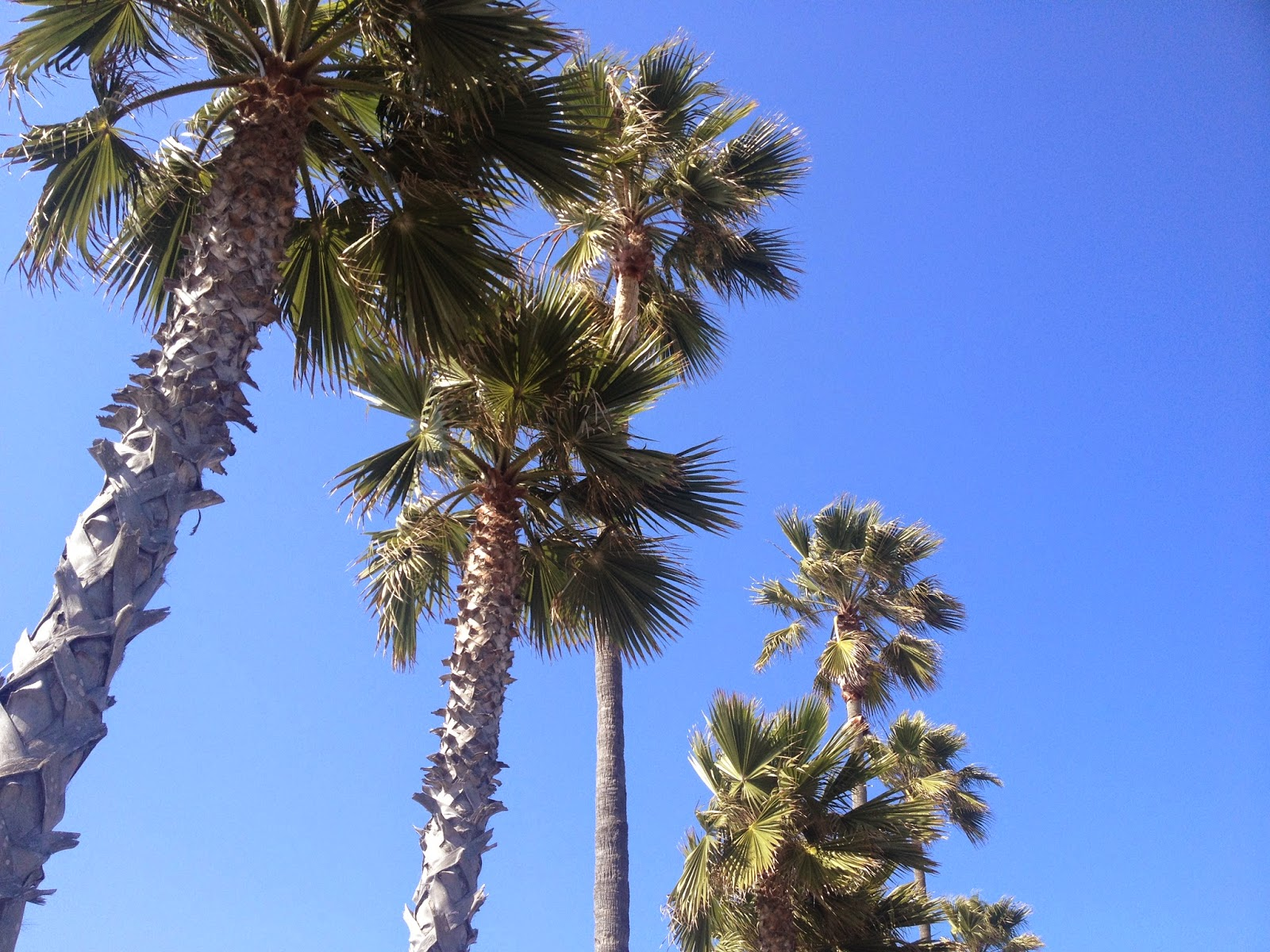 SoCal Palm Trees