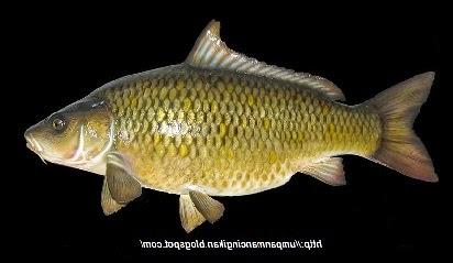 Ikan Jaruh,Ikan Karper,Ikan Mas,ramuan umpan mancing,resep umpan pelet,umpan mancing di kali,ikan mas empang harian,resep umpan ikan mas,umpan essen juara galatama ikan mas,umpan ikan mas lomba,