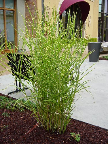 Landscaping with zebra grass the image for Zebra grass landscaping ideas