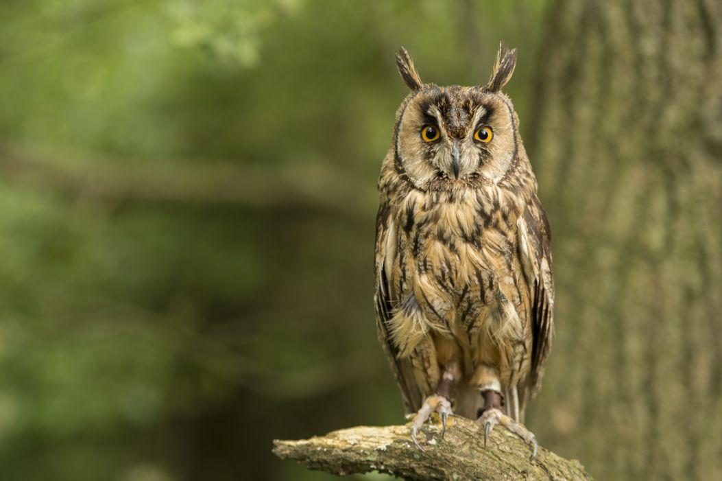 20. Photograph Long Eared Owl by Ian Hamilton