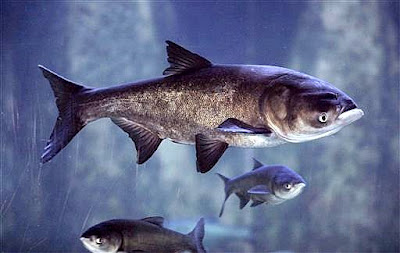 No Asian carp found in western Lake Erie