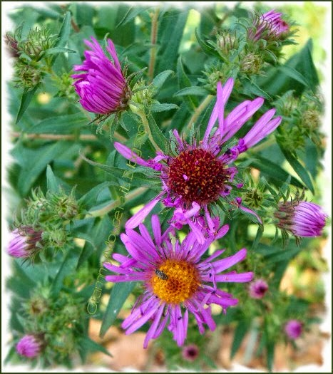wild purple asters different stages of blooming with insects photo image