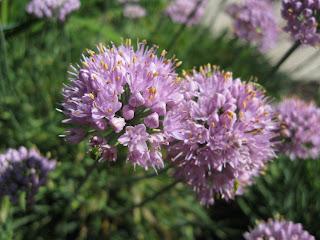 Circle onion flowers