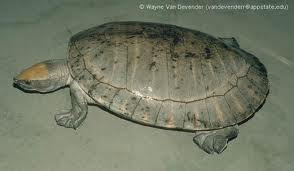 Central American river Turtle