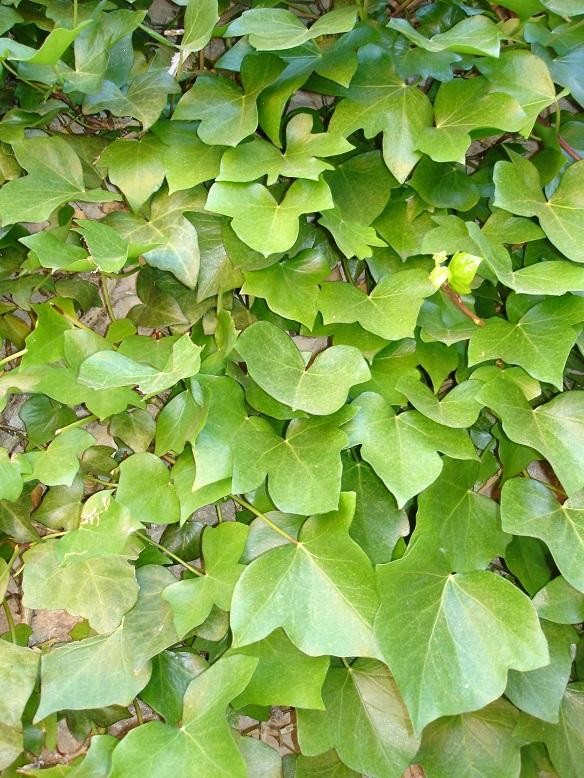 Jard n y planta cultivada plantas trepadoras for Jardines pequenos triangulares