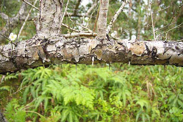 tree branch, ferns, thorns, bark