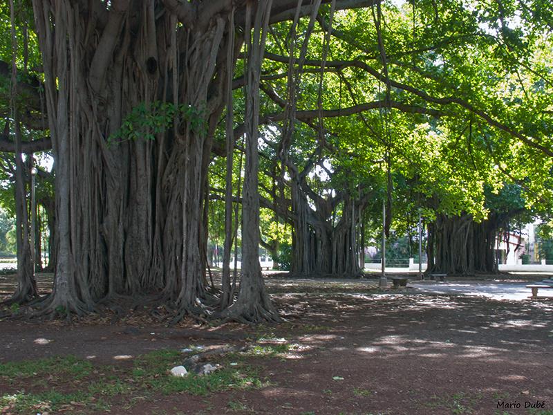 Arbres géants dans un parc de Miramar