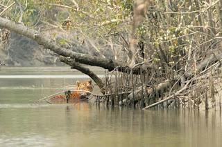 Taman Nasional Sundarbans dan Harimau