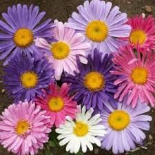 Indahnya Bunga Aster