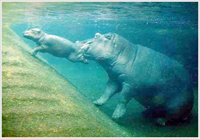 Baby Hippo Born in Berlin Zoo Seen On www.coolpicturegallery.us