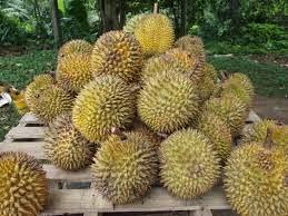 usaha rumahan durian