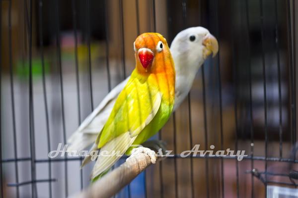 HAAGEN DASZ LOVE BIRD FARM === BANDUNG - IDN