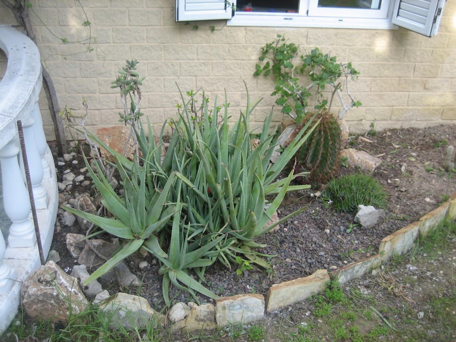 como se puede apreciar en esta primera foto esta parte del jardin tenia mal aspecto y eso que ya habia podado la lantana camara que hay justo debajo de la