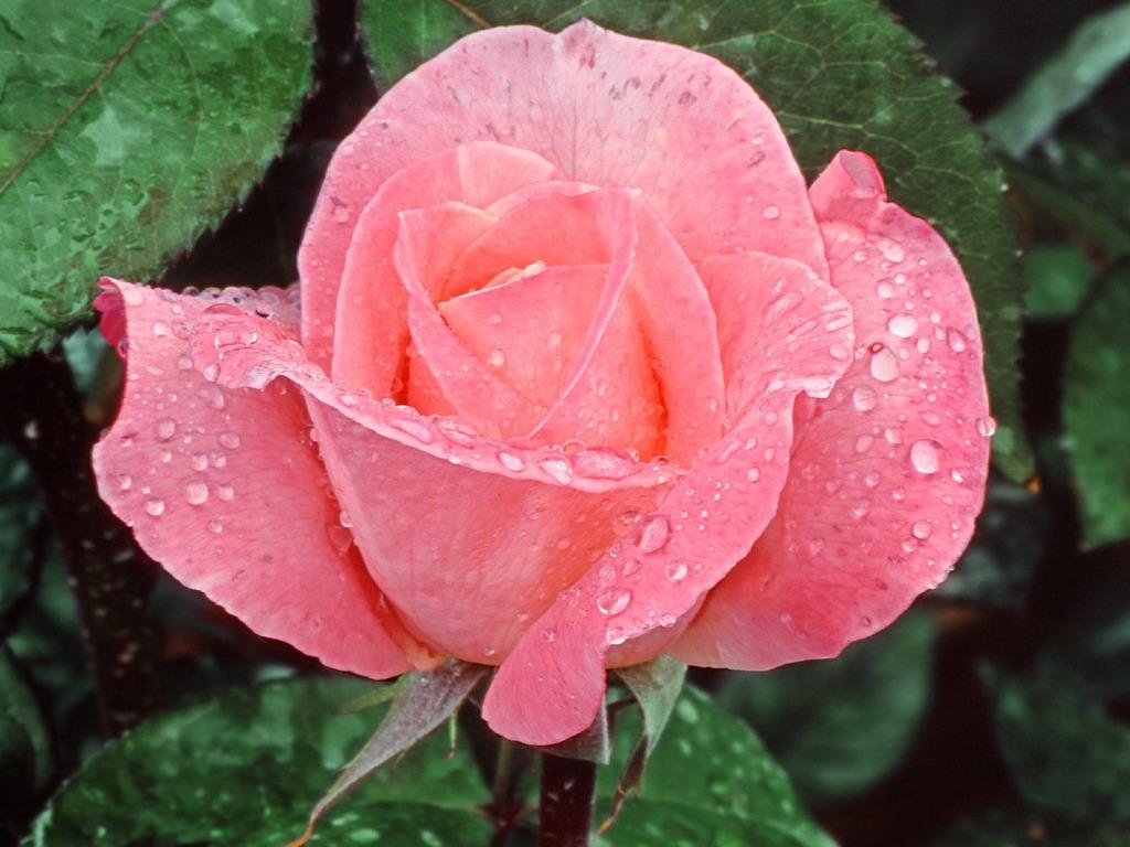 http://3.bp.blogspot.com/-KI7jNNfpliM/T2X0MILrvlI/AAAAAAAAKIs/0XnS69dzaq0/s1600/Pink-ruza-okupana-jutarnjom-rosom-download-besplatne-pozadine-za-desktop-1024-x-768-slike-kompjuteri-biljke-cvijece-proljece-godisnje-doba.jpg