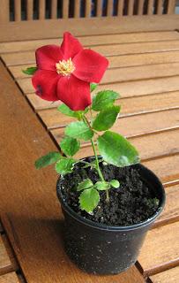 Erste eigene Rosensorte