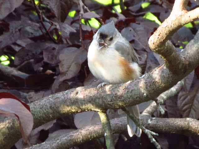 tufted titmouse with something in mouth