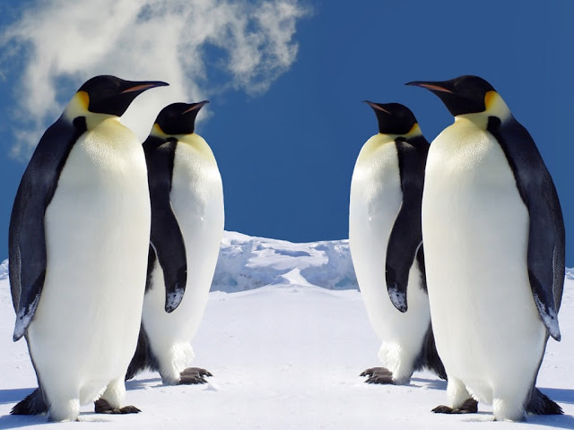 Free Hd Penguin wallpapers and  backgrounds 1024x764