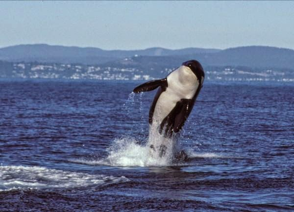 http://blog.seattlepi.com/candacewhiting/2011/06/25/granny-j-2-the-cetacean-senior-orca-just-might-be-100-years-old-come-celebrate/
