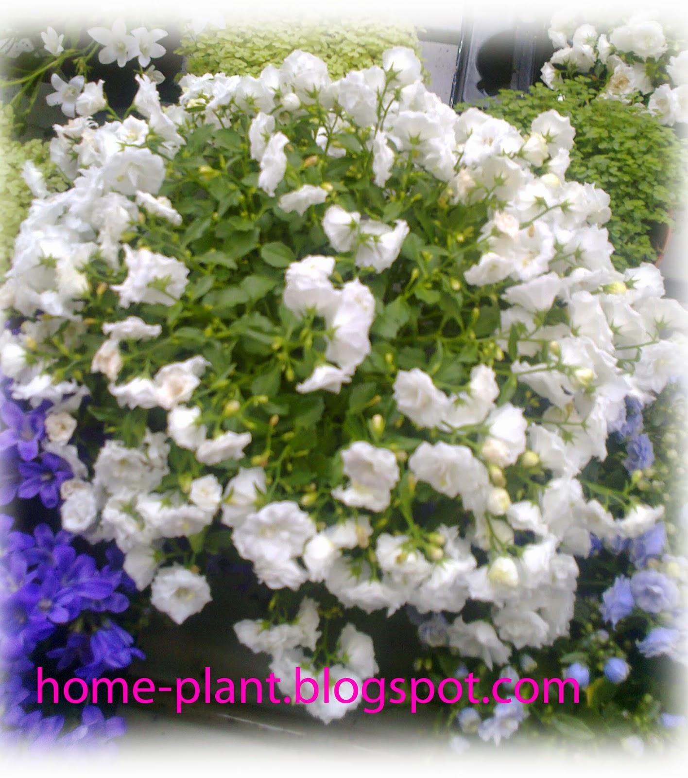Комнатное растение колокольчик