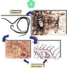 Los medios para la profiláctica de los helmintos