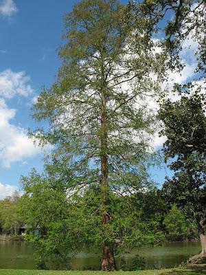 cypress tree:  Audubon Park, NOLA