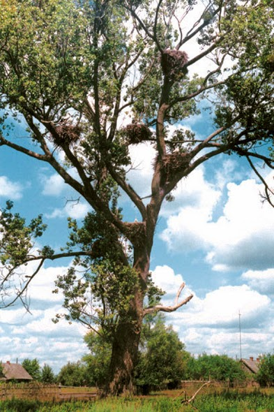 Tree with 8 white storks' nests in Belarus