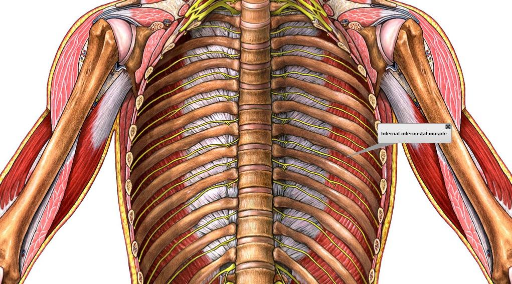 El blog de lorena p de sistema respiratorio for Interno s