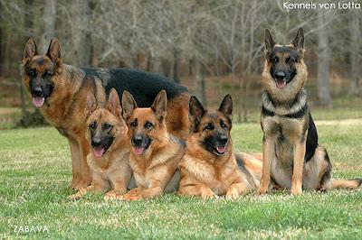 German Shepherd Dogs Pictures